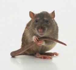 rat-alone