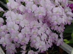 taroorchids20089 146
